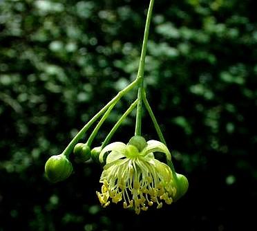 tilia-vulgaris-02-06-2003-2.jpg