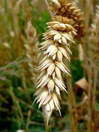 Germe de blé (Huile végétale), 50 ml
